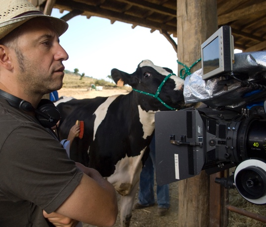 Preparation of cows for movies, ads and spots